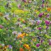 Rasendoktor Blumenmischung Bienen- und Schmetterlingswiese
